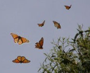 Eastern Catskills NABA Butterfly Count