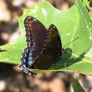 Breeding  Birds and Butterflies